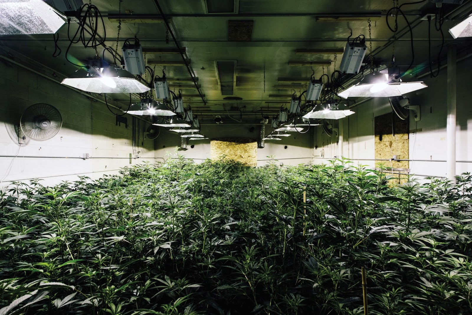 Solving marijuana mold problems in grow houses